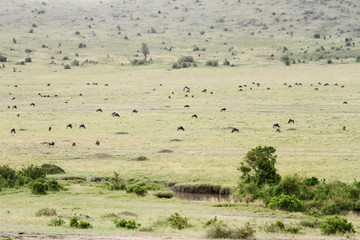 Beautiful savanna of Masai Mara with grazing sporadic wildlife