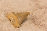 fossil shark tooth in the sand