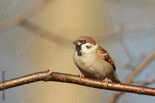 Eurasian Tree Sparrow (Passer montanus) at dawn