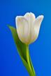 Biały tulipan na niebieskim tle