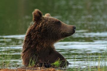 orso bruno della finlandia