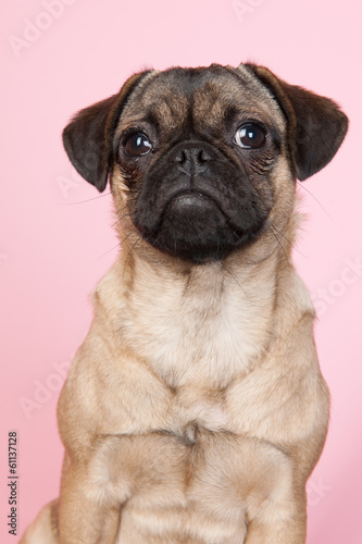 Puppy pug on pink background