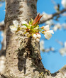 Flower on the trunk of the old cherry