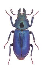 Platycerus capraea, a small European Stag-Beetle