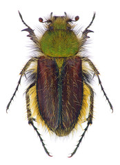 a bumble-bee scarab beetle (Pygopleurus foina)