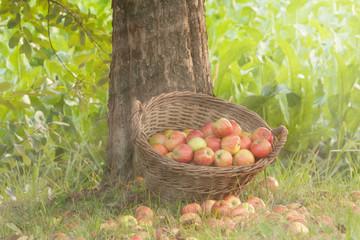 Äpfel im Weidenkorb