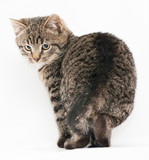 Small smooth coat tabby kitten standing and looking up