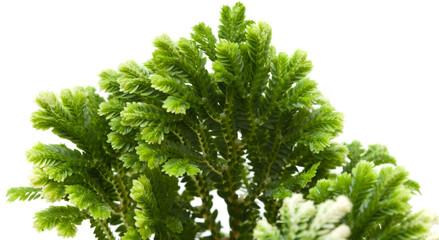 Selaginella, florist tropical moss