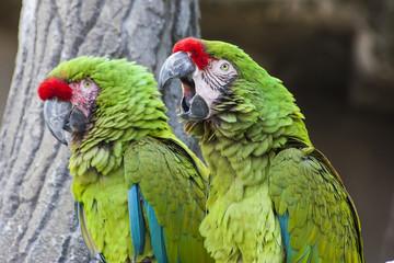 Coppia di pappagalli Ara Verde