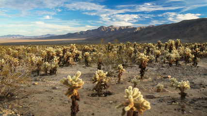 Desert full of Cholla Cactus