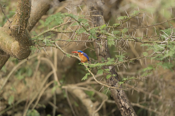 Malachite Kingfisher in a tree