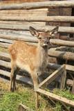 Funny baby in red deer enclosure. poster