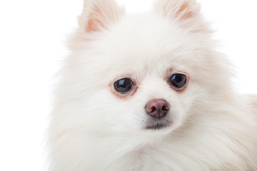White pomeranian dog close up