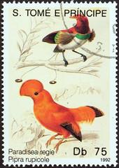 Paradisea regie, pipra rupicole (Sao Tome and Principe 1992)