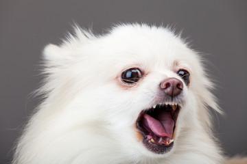 White pomeranian barking