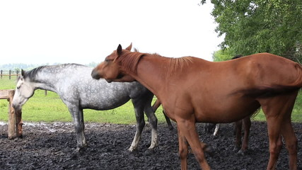Horses nod their heads in unison (saved from annoying insects).