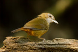 Abbott's Babbler(Malacocincla abbotti) turn to see us