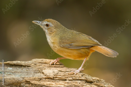 Abbott's Babbler(Malacocincla abbotti) catch in nature