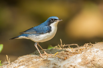 Siberian Blue Robin stair at us