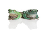 Two green tree frog, Litoria splendida, isolated on white.