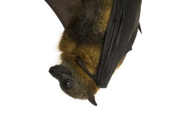 Fruit bat (flying fox) hanging upside down on white background.