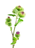 Inflorescence of Greater Burdock