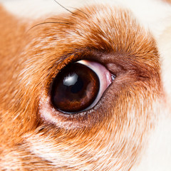 Eye of a dog