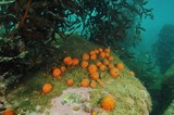 Golfball sponges growing on large boulder in shade of kelp