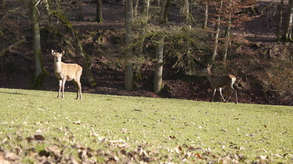 Female deer in Eifel, Germany