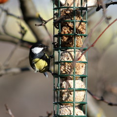 great tit foraging on  fat feeder