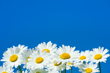 Daisies against the sky