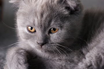 grey  british kitten