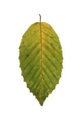 Ein grünes Blatt