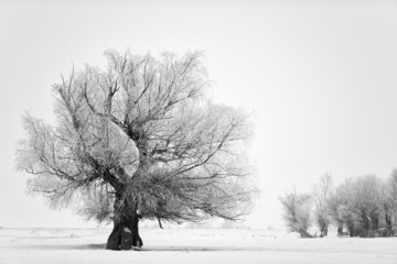 Beautiful tree in winter time in February 2014, Romania
