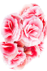 Beautiful red begonia flowers isolated on white background.