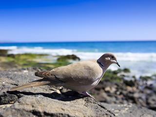 Pigeon on the Atlantic coast