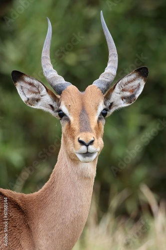 Foto op Canvas Antilope Young Impala Antelope