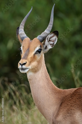 Staande foto Antilope Impala Antelope Portrait
