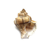 brown seashell on white background