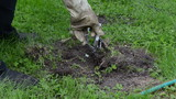 Garden worker hand take out traps with dead mole animal in it