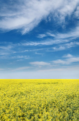 Agriculture, rapeseed, colorful yellow oil rape in field