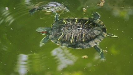 Turtles swimming in a pond