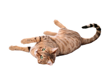 Brown cat breed Bengal (leopard cat - Prionailurus bengalensis)