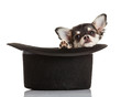 Chihuahua puppy  sitting in top hat.