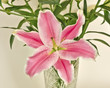 pink lilium flower closeup