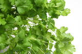 Fresh Coriander or Cilantro Herb