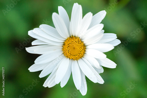 Close up of chamomile flower.