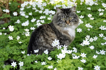 Norwegian forest cat in flower meadow