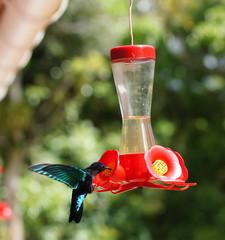 Colibri dans le Jardin de Balata