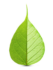 Green leaf half skeleton isolated on white background